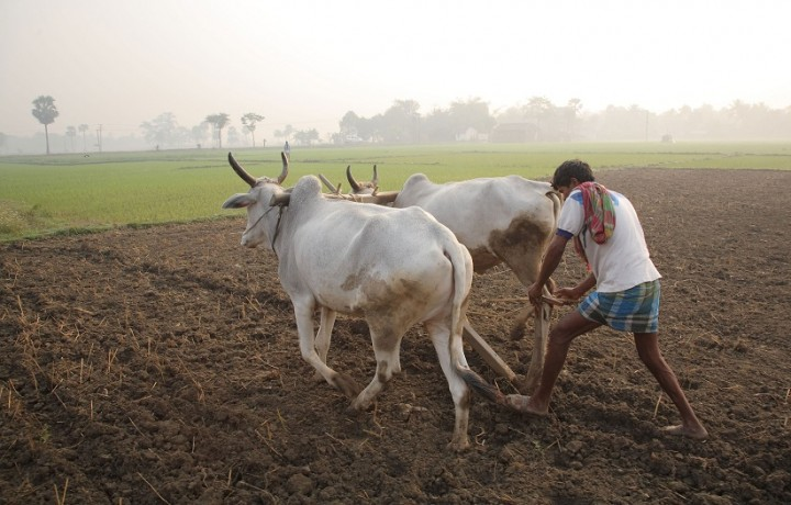 Ploughing with cattle in West Bengal Image public domain