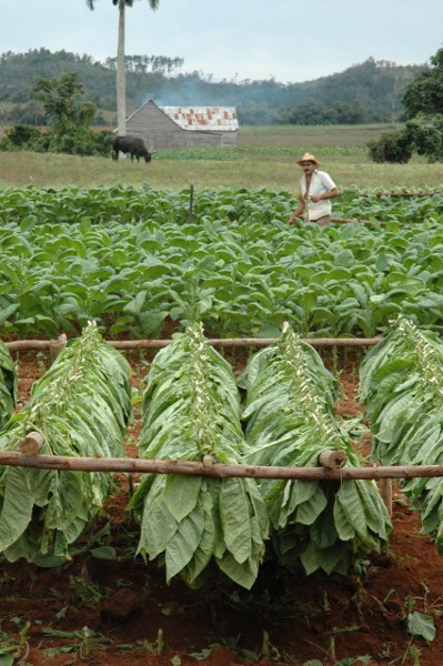 A tobacco plantation. Photo by Monkey Cat.