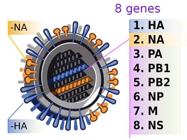 Genetic origins of the 2009 swine flu virus