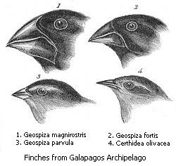Darwin's illustrations of beak variation in the finches of the Galápagos Islands, which hold 13 closely related species that differ most markedly in the shape of their beaks. The beak of each species is suited to its preferred food, suggesting that beak shapes evolved by natural selection.