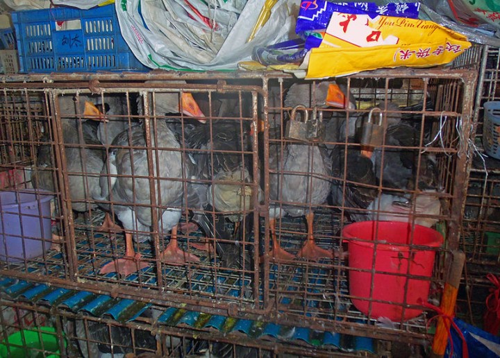 Ducks in cages at wet market Shenzhen China Image Daniel Case
